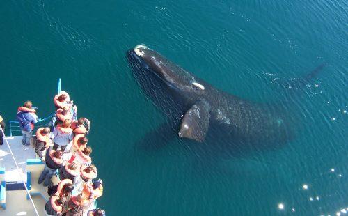 Se alcanzó un número record de ballenas en Península Valdés