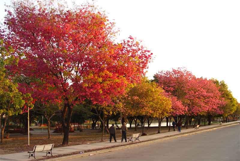 Lapachos en la ciudad de Formosa