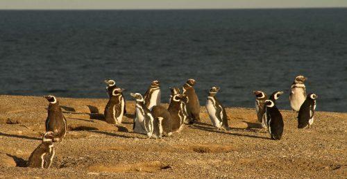 Pingüinos de Punta Tombo - Pingüino Magallanes - Centro Punta Tombo - Entretur