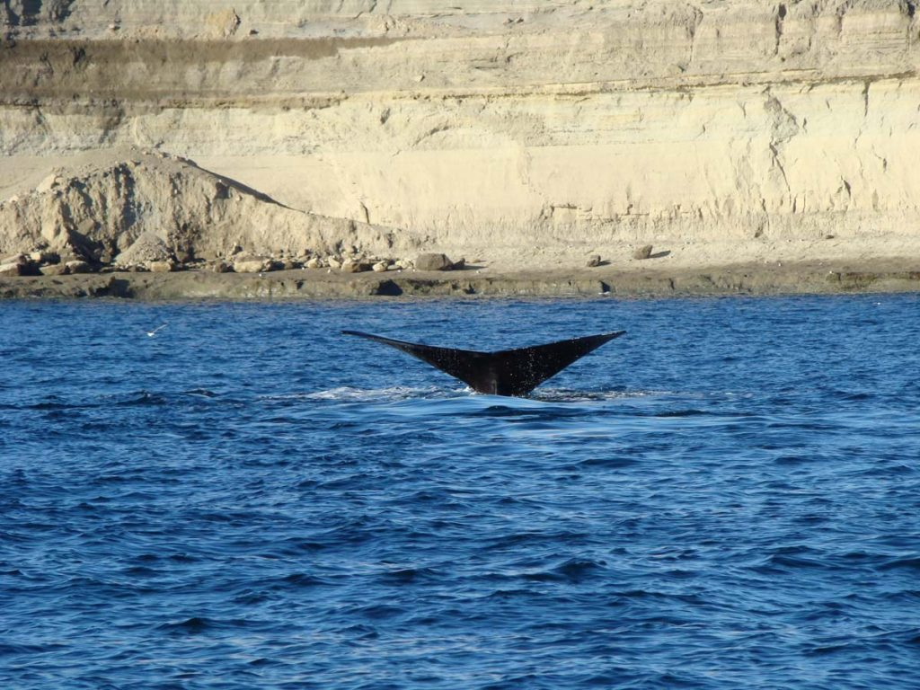 Ballena Franca Austral - Península Valdés- Puerto Madryn - Chubut- foto A.-Gelves