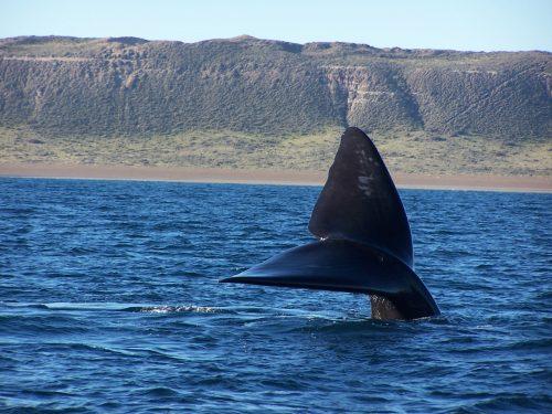 Avistajes embarcados de ballenas