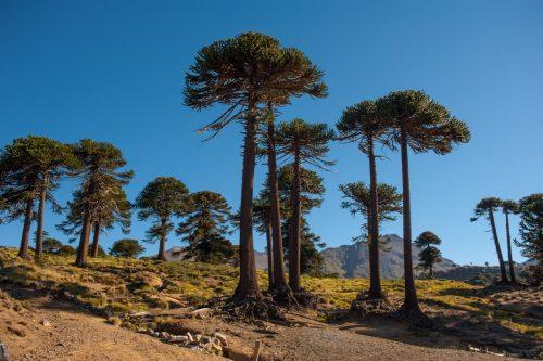 El Pehuén, árbol sagrado de Neuquén