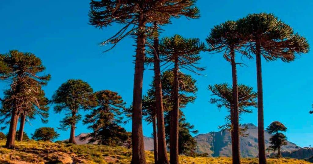 Pehuén, árbol sagrado de Neuquén
