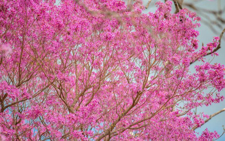 Lapacho-rosado-Handroantus-heptaphyllus@MatasRebak-750x470